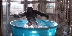 Zola the gorilla splashes and dances during a swimming pool enrichment session, and he's a maniac!