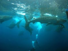 THE WHALESHARKS OF CENDRAWASIH BAY AGAIN IN THE NEWS: What is the best destination for dive with whale s...
