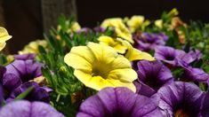 An ideal plant for the beginner gardener, the petunia is gorgeous and very easy to grow. Our guide to growing petunias explains how to grow it from seed, how to care for your petunias, and pests to be aware of. Dig into our whole guide here. Petunia Care, Petunia Plant, Petunia Flower, Fall Planters, Flower Planters, Vegetable Garden For Beginners, Gardening For Beginners, Container Flowers, Container Plants