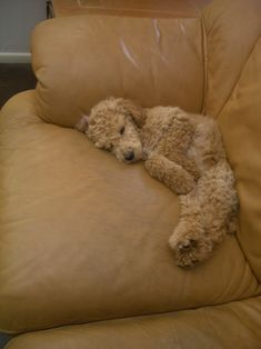 Puppy nap...apricot Standard Poodle