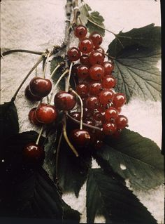 Lumières autochrome. Still life: cherry and red currant. Arild mode. Photographed in August 1912 with the f/48, 180 sec. exposure.