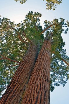 Faithful Couple, a pair of Giant Sequoias grow together in the Mariposa Grove of Yosemite National Park.