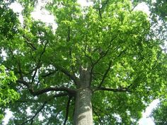 Chêne Stebbing, forêt de Tronçais (Allier) | Krapo arboricole