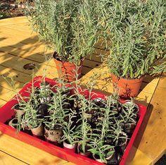 Die Heilpflanze lässt sich für viele Zwecke nutzen. Die Vermehrung ist einfach gemacht. Wir erklären, wie Sie Stecklinge schneiden.