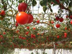 Tomatoes growing on an overhead trellis (arbor).