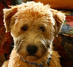Wheaten puppy