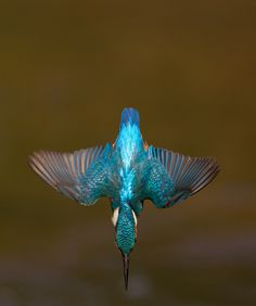 kingfisher diving into water - Google Search