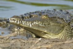 Never Smile At A Crocodile by Debbie Tubridy on 500px This is another shot from the day spent photographing this American Crocodile, while active, as it hunted its prey, swam through the waters, and on occasion pulled itself onto its sandy beach landing, where it would rest and get warm.