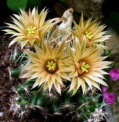 Escobaria missouriensis ssp.asperispina succulent cactus