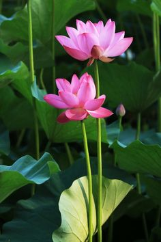 lotus image by baron. Find more awesome flower images on PicsArt. Beautiful Flowers Photos, Amazing Flowers, Beautiful Roses, Pretty Flowers, Beautiful Gardens, Lotus Flower Pictures, Flower Images, Flower Art, Water Flowers