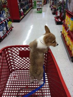 baby corgi goes shopping for noms