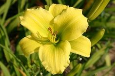 Hemerocallis Hybr.'Green Flutter'