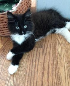 Jasper  Cat • Domestic Long Hair-black and white & Maine Coon Mix • Baby • Male • Medium  Animal Rescue Force East Brunswick, NJ