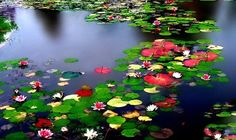 Multiple water lilies