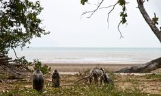 Monkeys at the beach, Sarawak, Malaysian Borneo.