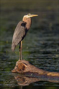 Great Blue Heron On Log by DanielCadieux via http://ift.tt/294Kn8I