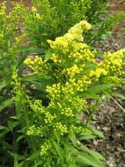 Solidago 'Dansolitlem' LITTLE LEMON - Plant Finder; on clearance from Lowe's.  Planted in front bed, in front of kitchen window area.