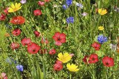 How to Grow Cornflower thumbnail