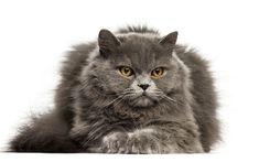 Download wallpapers British Longhair cat, 4?, gray fluffy cat, domestic pet, big cats