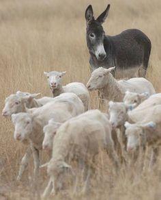Herding his buddies!
