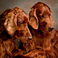 Irish setters -- gorgeous