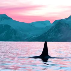 Orcas Swimming Within the Wild WildOrcas Travels Adventures Beautiful Sea Creatures, Animals Beautiful, Orcas Swimming, Whale Video, Funny Animals, Cute Animals, Underwater Animals, Ocean Creatures, Killer Whales