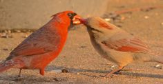 THE KISSING BEHAVIOR of cardinals is not an agreed upon subject. Some people think it has to do with a mating ritual involving food. I think that is a rumor started by embarrassed birds caught kissing and the feeding business is a ruse. (Not an April Fool's Day joke.) Click for closeup. (4/1/14 Peace Valley, Missouri)