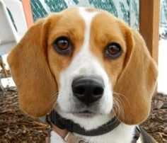 Chloe is an adoptable Beagle Dog in Salem, OR. I'm a good-natured dog who has a bundle of mental and physical energy, and I'm waiting for my chance to unleash it on the world. Without adequate stimula...