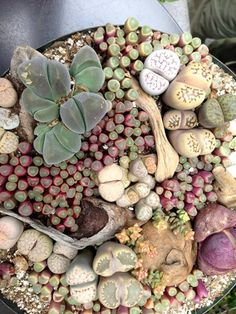 "Called ""Living Stones"" are strange plants, but work beautifully in terrarium cactus bowls for variety."