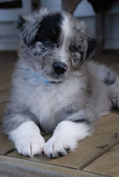 The cutest Australian Shepherd in the puppy game