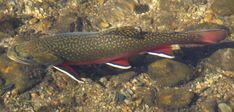 Salvelinus fontinalis, Northern Brook Trout.  Tioga County, PA.  late 1970s.