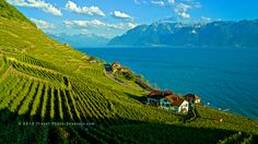 Enjoy one of my favourite view in Switzerland taken from Lavaux Saint-Saphorin. Places In Switzerland, Lake Geneva, Swiss Alps, Future Travel, Photography Website, Travel Abroad, First Photo, Trip Advisor, Beautiful Places