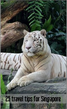The Singapore Zoo is home to a group of rare white tigers | Singapore Travel Tips