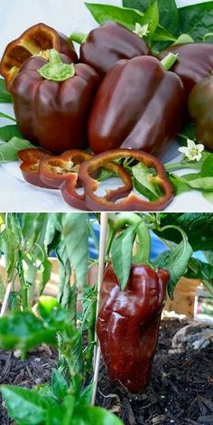 Chocolate bell pepper - Never heard of one, wonder how it tastes.