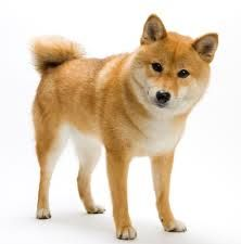 Hello mister fox.. So I saw one of these dogs in someone's cars and it was gorgeous.. I want. It's a  Shiba Inu Breed.