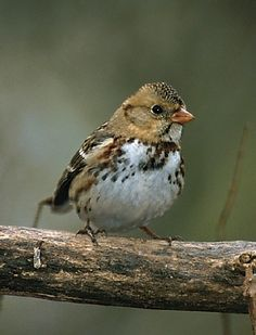 Harris' Sparrow (Zonotrichia querula) Canada into Northern United States Two Birds, Love Birds, Beautiful Birds, Bird Types, Brown Bird, San Diego Zoo, Little Birds, Bird Species, Bird Watching