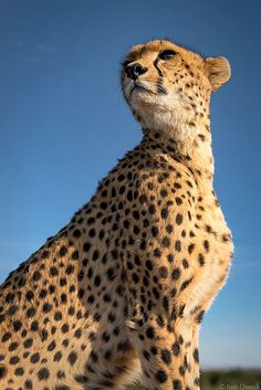 Cheetah Lookout 1 by Rob Dweck on Flickr.