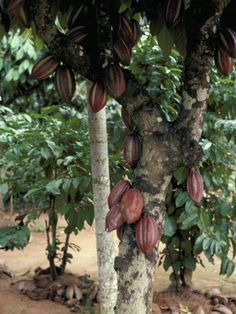 The cocoa tree, just think how cool would it be to be able to grow your own chocolate tree in your own garden. Learn about the Theobroma cacao, cocoa plant and how to grow the chocolate tree. Chocolate Tree, Cacao Chocolate, Cocoa Health Benefits, Sri Lanka, Buy Fruit Trees, Cocoa Plant, Fruit Tree Nursery, Cacao Fruit, Fruit List