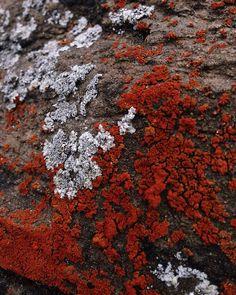 Red lichen - Wildthorne instagram