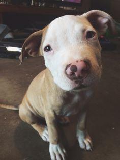 Ziggy the pitbull