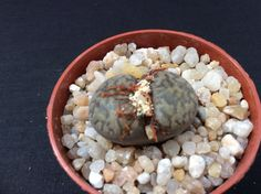 Lithops bromfieldii f. insularis Soverby cod. LIT31