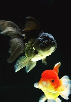 This has a few things in it - as fan tails get bigger, their tails become less rigid. - this has common colour action for black goldfish. - I like the body shape here.