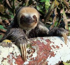 Hi there Beautiful Friends:) Pale-throated three-toed sloth (Bradypus tridactylus) (by 2mag7- non-stop catching up!)