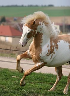 Overo Paint horse with GREAT color!