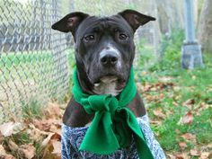 DIAMOND - A0996520 - - Manhattan  Please Share:TO BE DESTROYED 10/15/16 A volunteer writes: Diamond is as precious as her name, a timid yet incredibly affectionate ebony beauty who'd be a strong candidate for the title of both world's worst model and world's sweetest dog! You'll have to use a bit of imagination to see how truly pretty Diamond is from her photos as during our shoot she's in perpetual motion, constantly angling for a snuggle sess