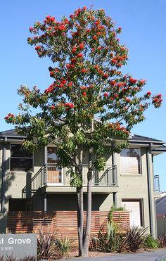 Tree Waratah or red silky oak Big Tree, Trees And Shrubs, Flora, Tropical, Garden, Plants, Red, Scarlet, Garten