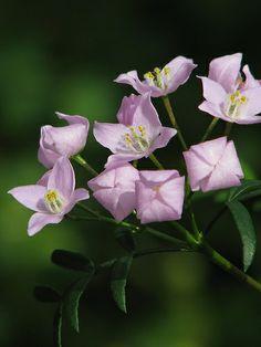 Boronia pinnata | Flickr - Photo Sharing!