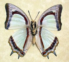 Polyura jalysus verso - Indian Yellow-Nawab Butterfly -  Native Origin: Malaysia