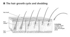 Each hair has a hair root or hair follicle deep inside the skin and a hair shaft or the hair as we see it, coming out of the skin. Each hair follicle gives rise to many hair in its lifetime. So the hair will grow for a fixed period of time, say 2-3 years. Then it enters a transition stage for a few days, where the root separates from the hair. The separated dead hair then is shed off in the shedding stage. At the same time, a new hair starts growing from the roots.