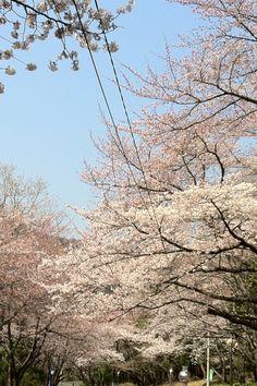 #桜 #さくら #花見